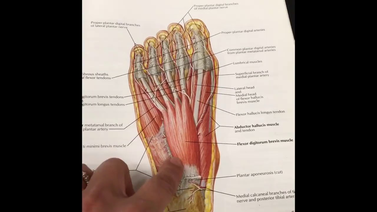 Understanding Plantar Fasciitis - Video #1: The Anatomy of the ...