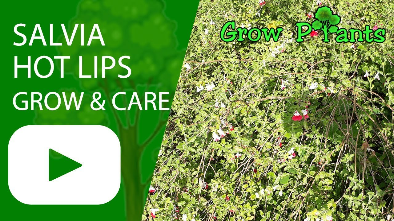 Salvia Hot Lips Grow And Care Attract Pollinators Youtube
