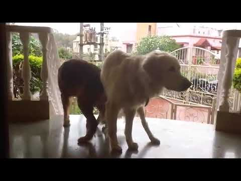 Dog sex (small vs big dog) from YouTube · Duration:  22 seconds