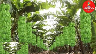MODERN TECHNOLOGY BANANA FARM IN THE PHILIPPINES -AMAZING BANANA HARVESTING-GREAT BANANA PLANTATION