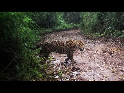 Best Hunting Collection Of The Jaguar | YAGUARETÉ Cazando
