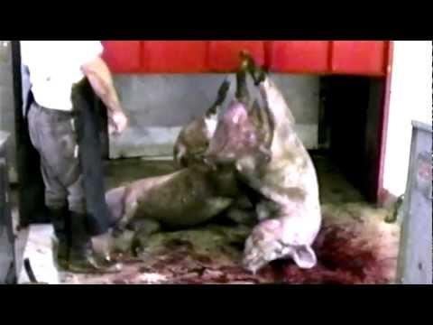 Download Youtube: WHY Vegetarian WARNING GRAPHIC TRUTH Factory Farm MEAT Fish (MFA no PETA) HSUS ASPCA Animal Cruelty