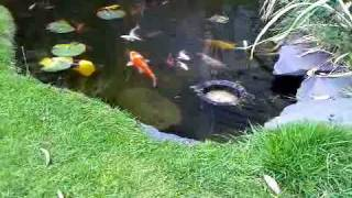 POND SKIMMER IN ACTION  KOI FISH