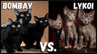 Bombay Cat VS. Lykoi Cat
