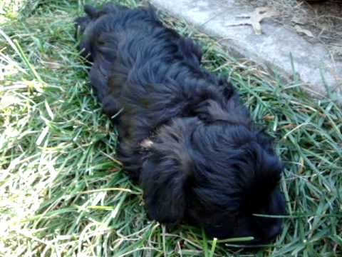 Adorable Havanese Schnoodles! Hypoallergenic, well Socialized (2) 2011