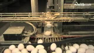 ¿Cuántas gallinas hay que poner en una jaula para que estén a gusto? thumbnail