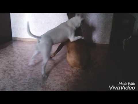 Минибули атакуют питбуля