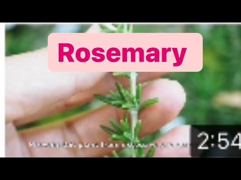 Rosemary - Medicinal Herb