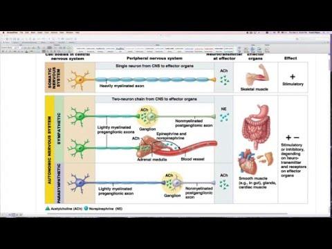 Chapter 14 Exam review: Autonomic Nervous System