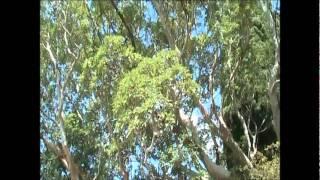 Воронин Никитский парк г.Ялта