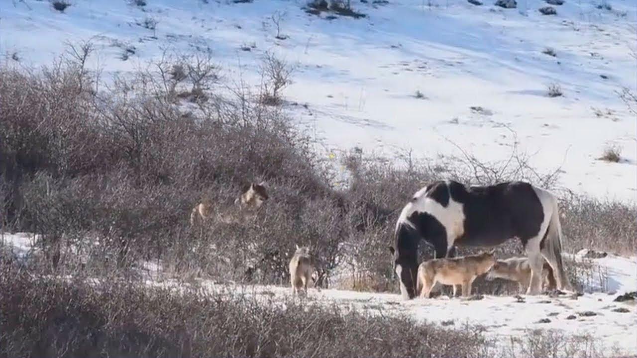 6頭のオオカミに遭遇したウマの行動に写真家は思わず声を上げました