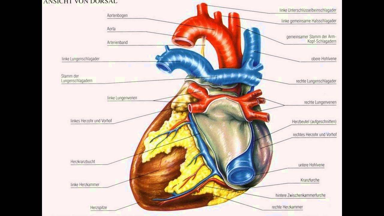 Schön Herzanatomie Zeichnung Fotos - Menschliche Anatomie Bilder ...