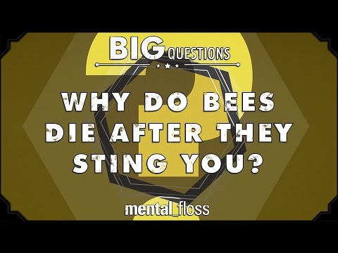 Why do bees die after they sting you? - Big Questions - (Ep. 41)