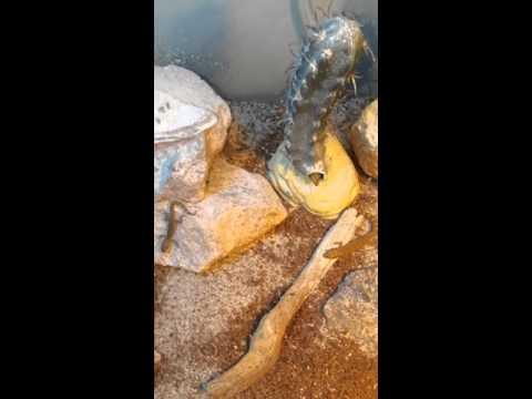 Tropiocolotes Steudnerri(Dwarf Gecko) Colony @ Prehistoric Pet Evolution