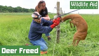 Tangled deer wrestles with wildlife rescuer!
