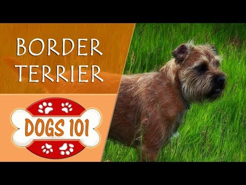 Dogs 101 - BORDER TERRIER - Top Dog Facts About the BORDER TERRIER