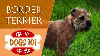 Dogs 101  BORDER TERRIER  Top Dog Facts About the BORDER TERRIER