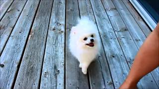 Teacup Pomeranian White Puppy **teacupdream**