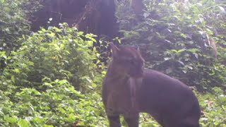 Cologne Lures Secretive African Cat to Camera Trap | Video