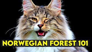 Norwegian Forest Cat 101 - Learn EVERYTHING About Them!