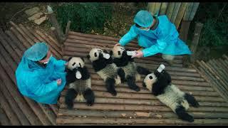 Pandas, a new IMAX® documentary adventure