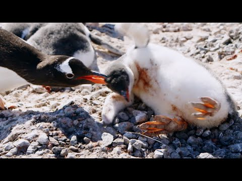 Young Penguin Tragically Dies | Penguin Post Office | BBC Earth