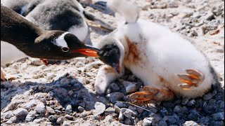 young-penguin-tragically-dies-penguin-post-office-bbc-earth