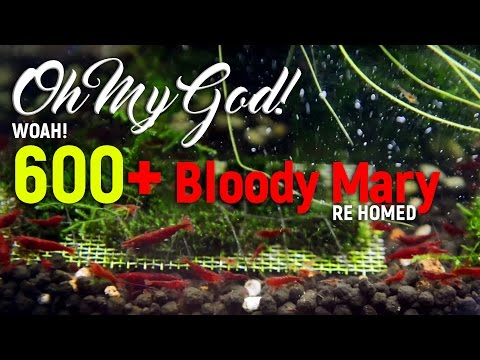 600+ Bloody Mary Shrimps Re Home ! OMG