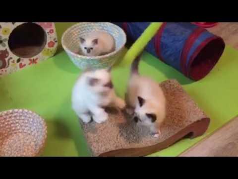 Birman kittens Carley x Boston