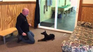 "Doberman Puppy ""fayth"" Obedience Protection Trained For Sale Home Security"