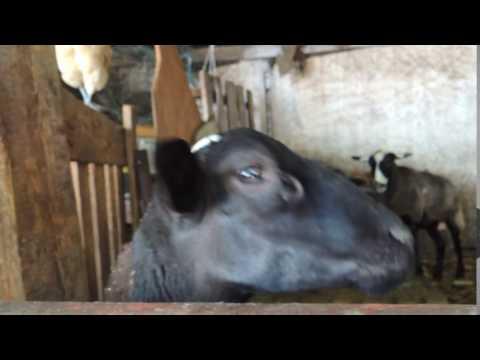 odessa zoo goat