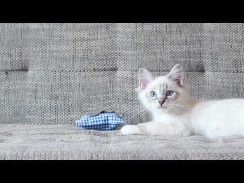 sweet ragdoll kitten plays with pillow