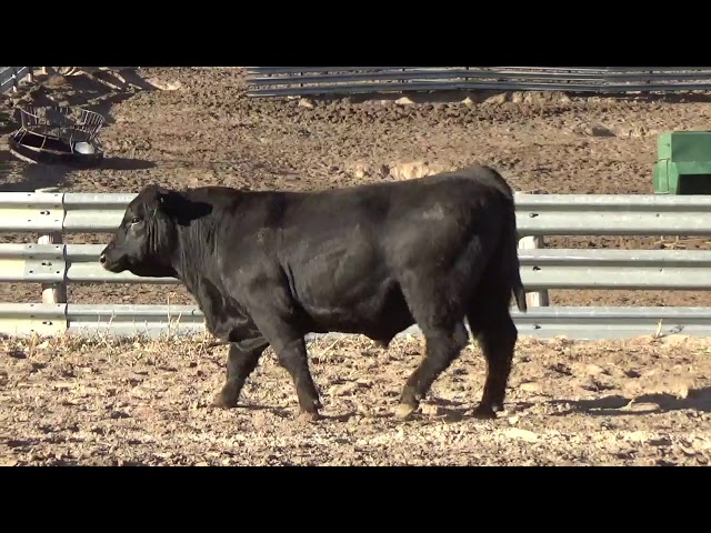 Connealy Angus Lot 201