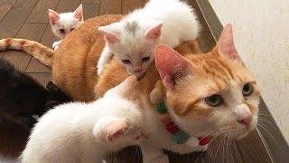 【たじたじ汗】保護子猫と初対面した先住猫