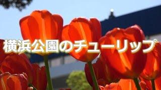 横浜市中区。野球スタジアムの隣にある公園では、色とりどりのチューリ...