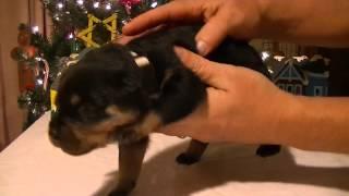 Rottweiler Puppy (white)