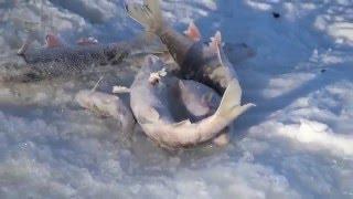 Очередная зимняя рыбалка в Сибири