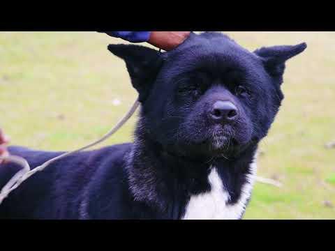 Babri Kennel || American Akita Professional Breeder || Rajakaran Singh ||  Scoobers