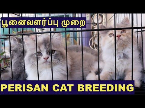 Persian cat வளர்ப்பு முறை | Persian cat Breeding | Spotlight Tamil