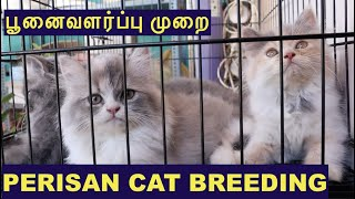 Persian cat வளர்ப்பு முறை | Persian cat Breeding | Spotlight Tamil