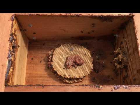 Natural hive duplication 🐝 thumbnail