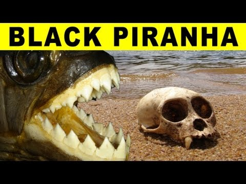 BIGGEST PIRANHA - Amazon River Monsters