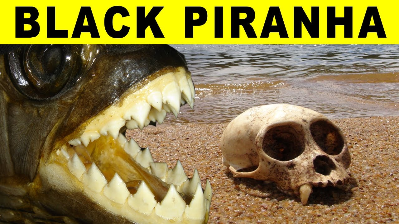 BIGGEST PIRANHA Amazon River Monsters YouTube - Types of rivers in the world