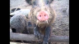 Обзор свиней породы Мангалица №3