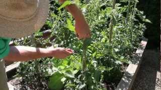Vegetable Series: Tomato Plant Pruning