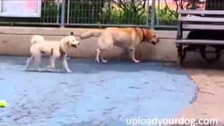 Golden Retriever Poodle Brown Dog Smelling The Black Dog Behind In The Dog Park: Uploadyourdog