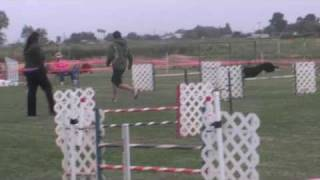 Primo The Pit Bull - Akc - Elk Grove Agility Jumpers