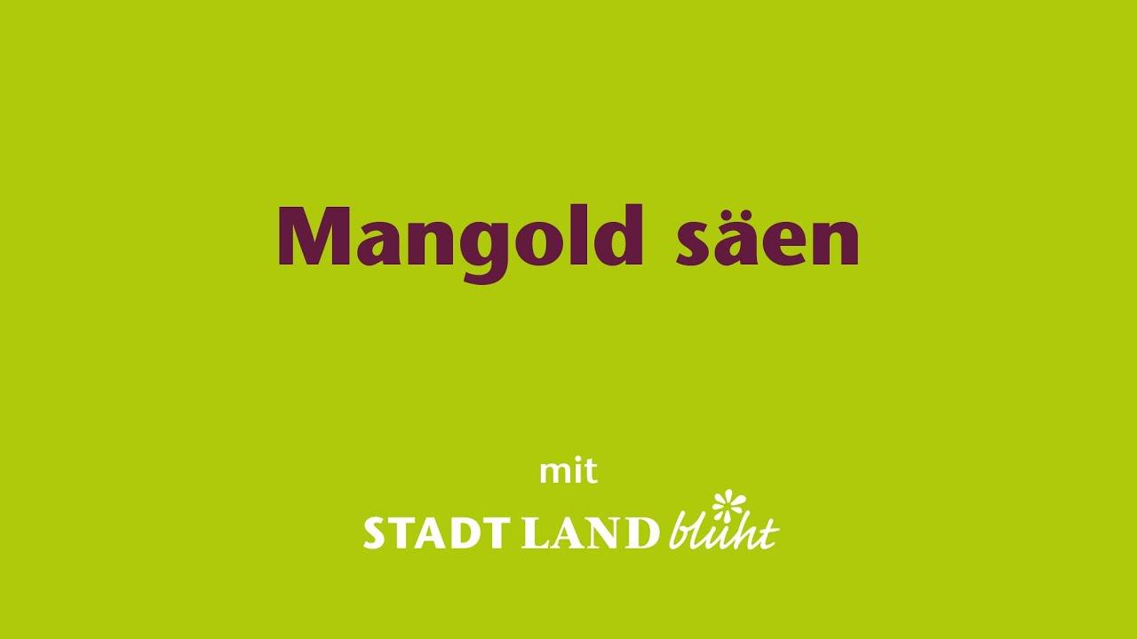 Mangold Einsaen Und Am Fensterbrett Vorziehen Youtube