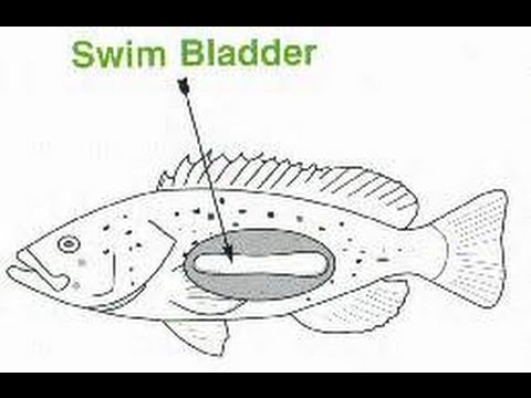 Does Your Fish Have Swim Bladder Disorder? Create a Goldfish Harness