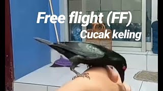 Free Flight Cucak Keling